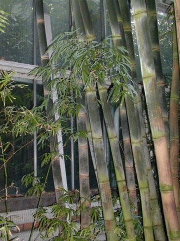 Bambus jako živý plot