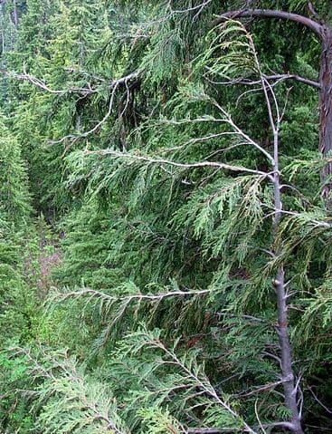 Cypřišek (Chamaecyparis) živý plot