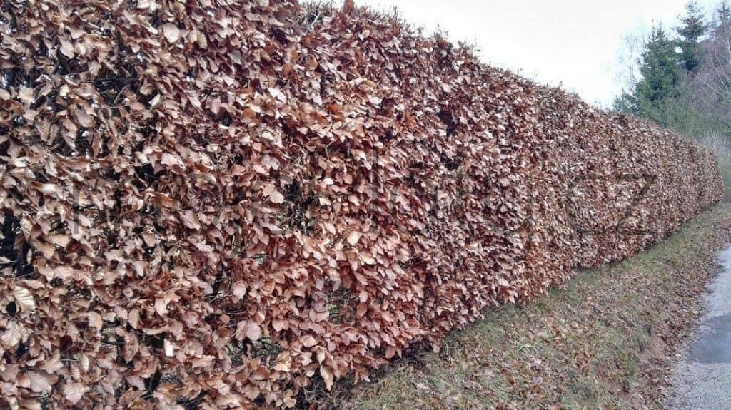 živý plot Habr (Carpinus)
