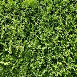 Jaké rostliny a keře na živý plot
