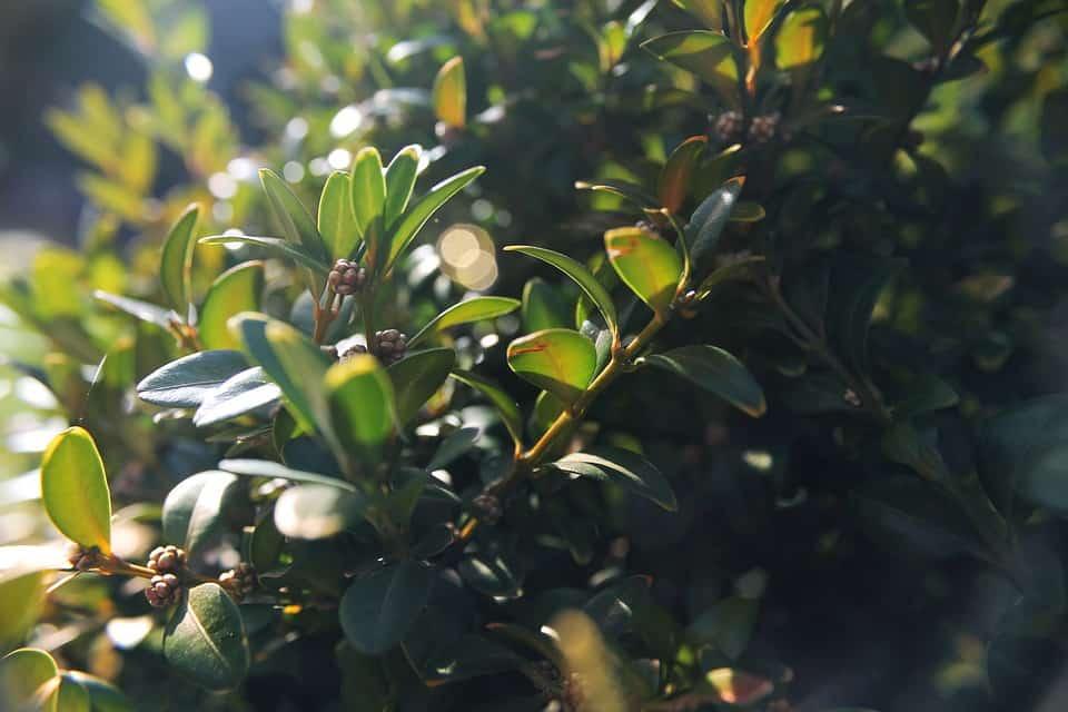 keř na živý plot Zimostráz (Buxus, krušpánek)