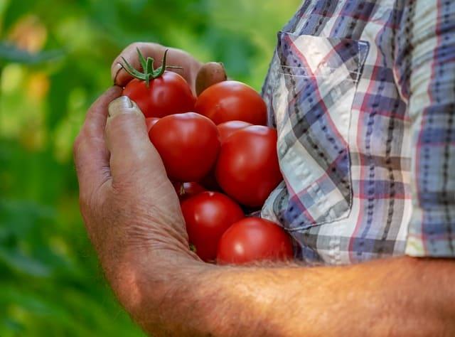 Druhy rajčat – jaké existují