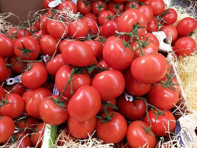Pěstování rajčat informace